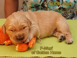 Golden Retriever Welpen of Golden Home F-Wurf/Woche2
