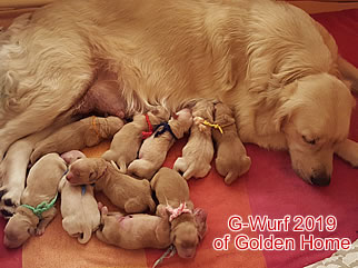 Golden Retriever Welpen of Golden Home 2G-Wurf