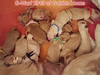 Golden Retriever Welpen of Golden Home