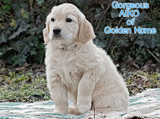 Golden Retriever Welpen of Golden Home G-Wurf/Woche8