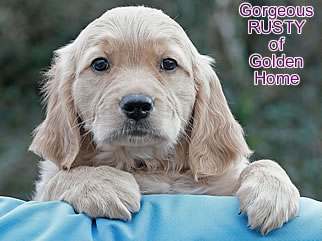 Golden Retriever Welpen of Golden Home G-Wurf/Woch8
