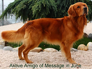 Golden Retriever Deckruede Amigo