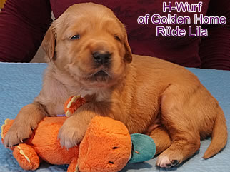 Golden Retriever Welpen of Golden Home H-Wurf/Woch3