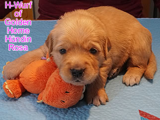 Golden Retriever Welpen of Golden Home H-Wurf/Woche3