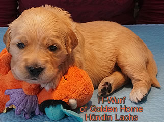 Golden Retriever Welpen of Golden Home G-Wurf/Woche3